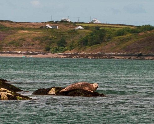 Seal seen from ferry to Sherkin Island