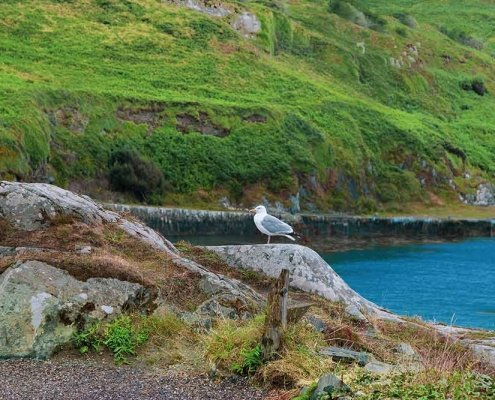 Seagull on Cape Clear Island County Cork